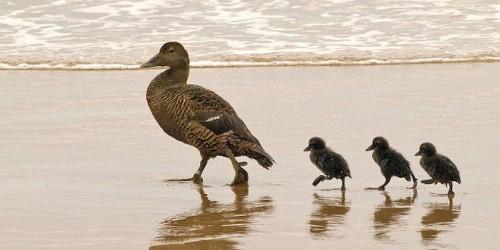 ducks-on-beach