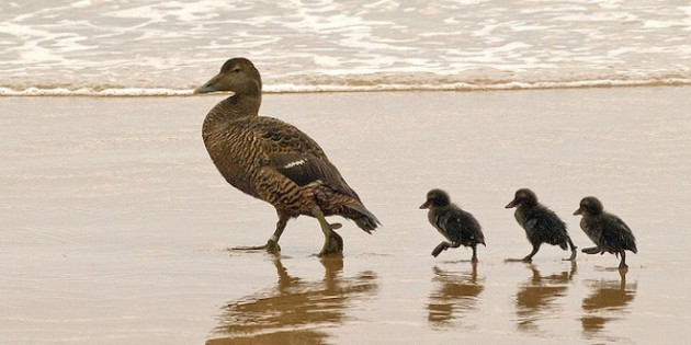 ducks-on-beach