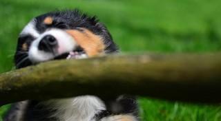 dog-ate