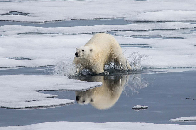Polar Bear in Water by Smudge 9000