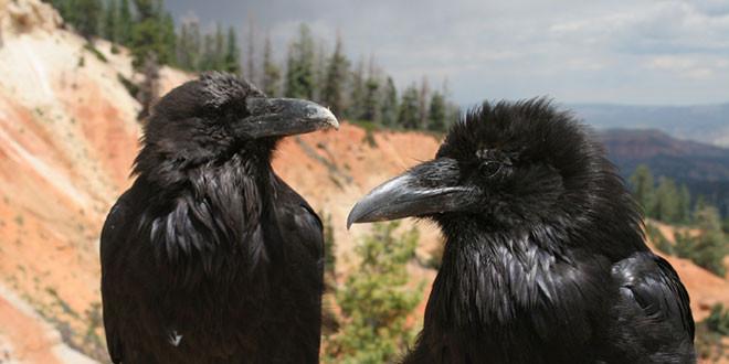 Raven Welcomes More Smart Birds
