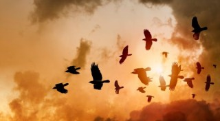 Flock of Ravens